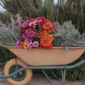 Zinnias y lavandas para ramos florales