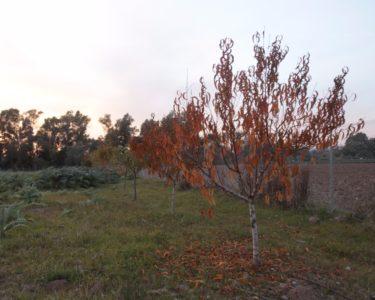 Melocotonero en otoño