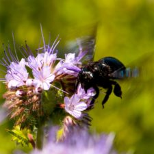 Abejorro en flor phacelia