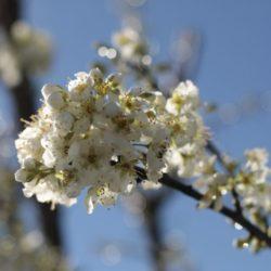 Flor del ciruelo