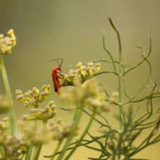 Guardian flor hinojo