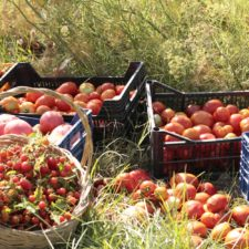 Diversidad de tomates