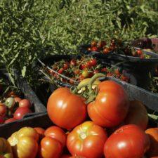 Recolecta de tomates
