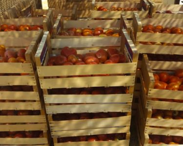 Tomates para envasar